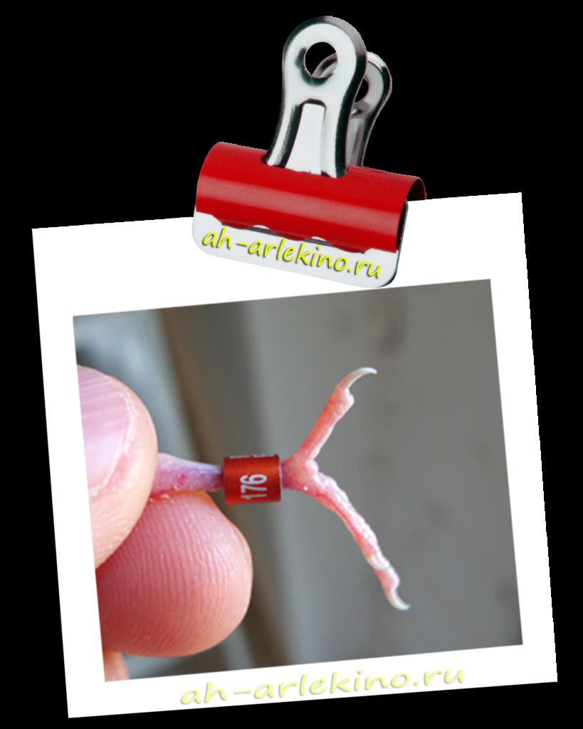 Опухла лапка канарейки под кольцом