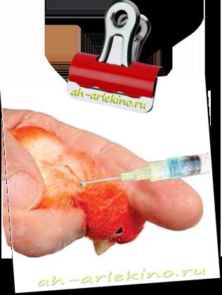 паразиты у канарейки